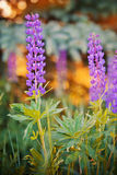 Wild-growing lupine flowers Royalty Free Stock Photo