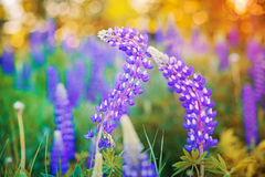Wild-growing lupine flowers Stock Photos