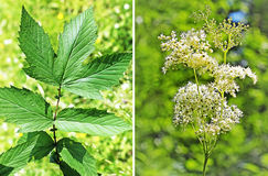 Wild-growing medicinal plant of Siberian meadowsweet (Lat. Filipendula ulmaria). Inflorescence and leaf of a plant stock photos