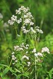 Wild-growing medicinal plants Galium boreale L. Royalty Free Stock Photography