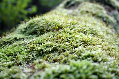 Wild growing moss Royalty Free Stock Photos