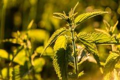 Wild growing nettle Stock Photography