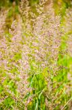 Wild growing Poa grass plant, genus of about 500 species of grasses, native to the temperate regions of both hemispheres. Common. Wild growing Poa grass plant stock images