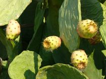 Wild Growing Prickly Pear Fruit Stock Images