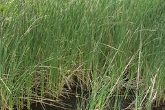 Wild growing Typha cattails in marsh Royalty Free Stock Images