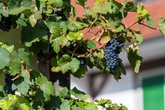 Wild growing wine plants with blurry background Royalty Free Stock Photos