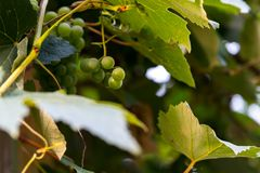 Wild growing wine plants with blurry background Royalty Free Stock Photo