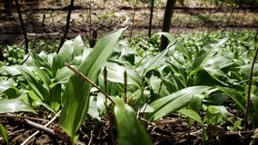 Wild-grown, bears garlic leaves in forest - Allium ursinum in fo. Spring medical nutritional plant and fresh, natural, wild-grown, bears garlic leaves in forest stock video footage