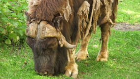 Wild grown-up male musk ox feeding, grazing in a forest glade. Sunny summer day, animal sheds hair. Wild grown-up male musk ox feeding, grazing in a forest glade stock footage