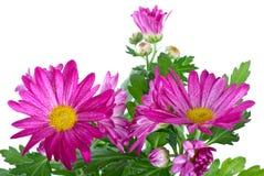 wild gruppchrysanthemumpink Arkivfoton