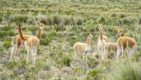 Wild Guanaco Herd In Pampa Stock Photography