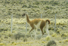 Wild Guanaco in pampa Stock Photography