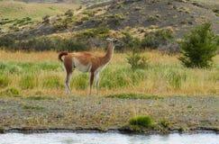Wild guanaco Stock Photography