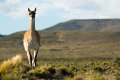 Wild guanaco in Patagonia. Stock Photos