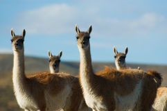 Wild guanacoes in Patagonia. Four wild guanacoes in Patagonia, Argentina Stock Image