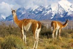 wild guanacos Arkivbilder