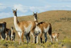 Wild Guanacos av Patagonia Fotografering för Bildbyråer
