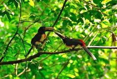 wild guatemala toucans Arkivbild