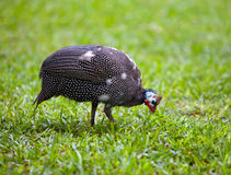 Wild guinea hen on a green grass in a sunny day. Wild guinea hen on green grass stock photo