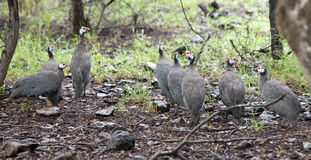 Wild guinea hen. In a sunny day royalty free stock photography