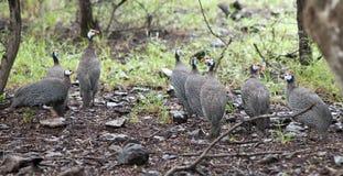 Wild guinea hen Royalty Free Stock Photography