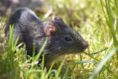 Wild Guinea pig in grass Royalty Free Stock Photography