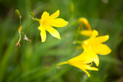 Wild gul lilja Royaltyfri Bild