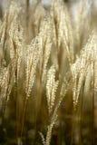 wild guld- medelhavs- piggar Arkivfoton