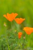 Wild vallmor i blom Arkivbild