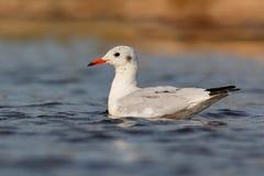Wild gull swimming in a lake Stock Image