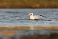 Wild gull swimming in a lake Royalty Free Stock Images