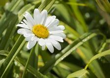 wild härlig blomma Camomile i trädgården Royaltyfria Foton