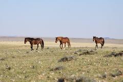 wild häst Royaltyfria Foton
