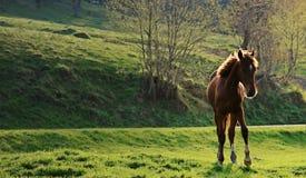 wild häst Arkivbild