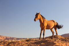 Wild häst. Bronco. Arkivfoton