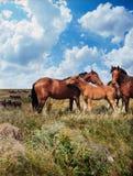 wild hästar Arkivbild