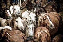 wild hästar royaltyfri foto