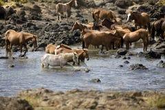 wild hästar Arkivfoton