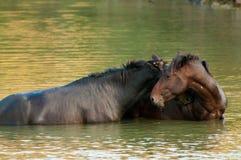 Wild hästar bevattnar in Royaltyfria Foton