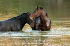 Wild hästar bevattnar in Arkivbild