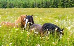 Wild hästar på äng royaltyfri bild