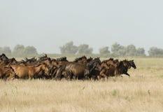 Wild hästar på en galopp Royaltyfri Fotografi