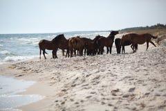 Wild hästar på stranden Arkivfoto