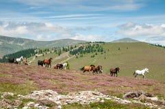 Wild hästar som är rinnande på berg, betar Arkivbild