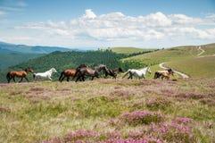 Wild hästar som är rinnande på berg, betar Royaltyfria Bilder