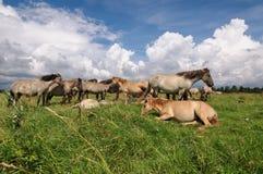Wild hästflock Arkivfoto