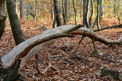 wild höstskog Royaltyfria Foton
