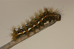 Wild hairy caterpillar Royalty Free Stock Photo