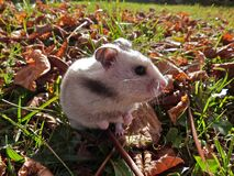 Wild hamster Stock Images