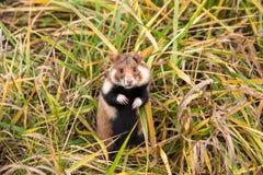 Wild hamster stock image